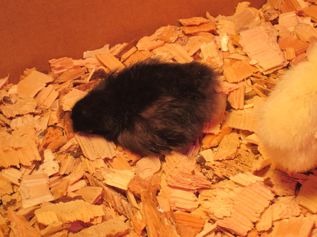 Baby chick - dead or sleeping?