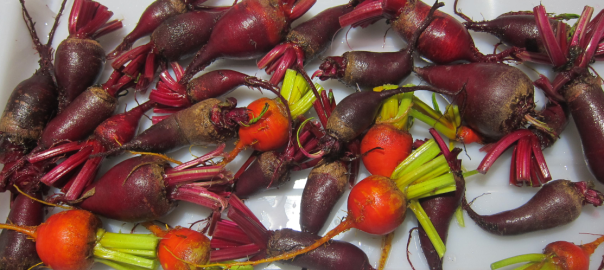red and gold organic beets without tops
