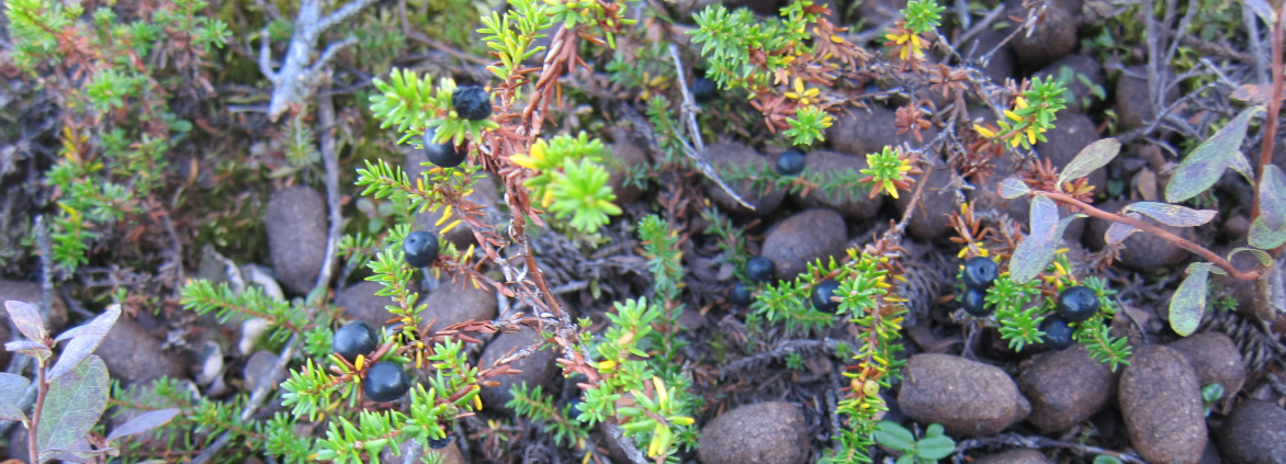 Alaska crowberries and moose poop