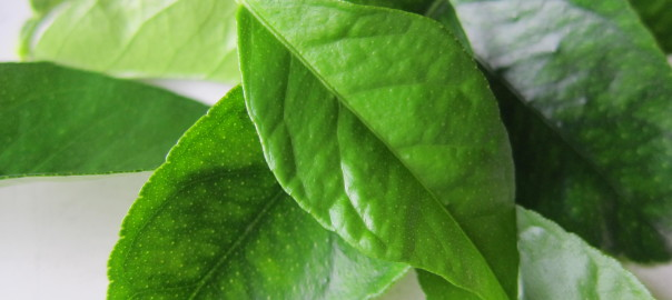 Bearss lime tree leaves