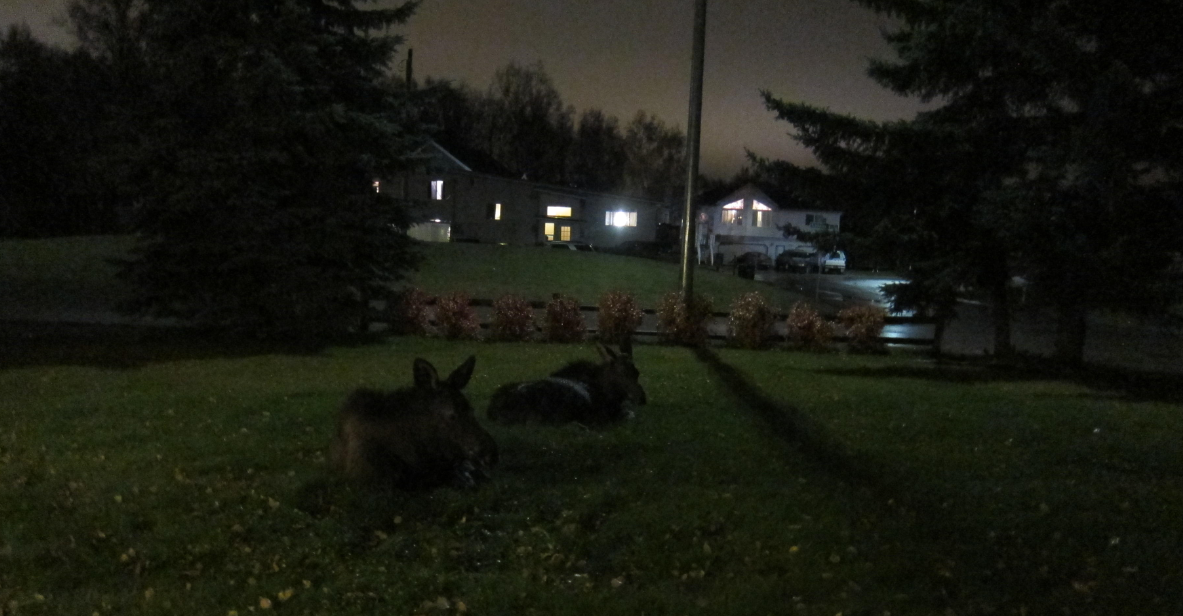 calves resting in residential anchorage