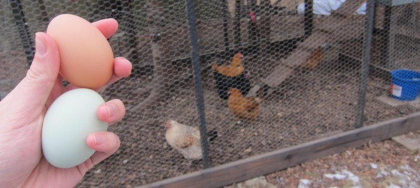 Do chickens need a rooster around to lay eggs? | Alaska Urban Hippie