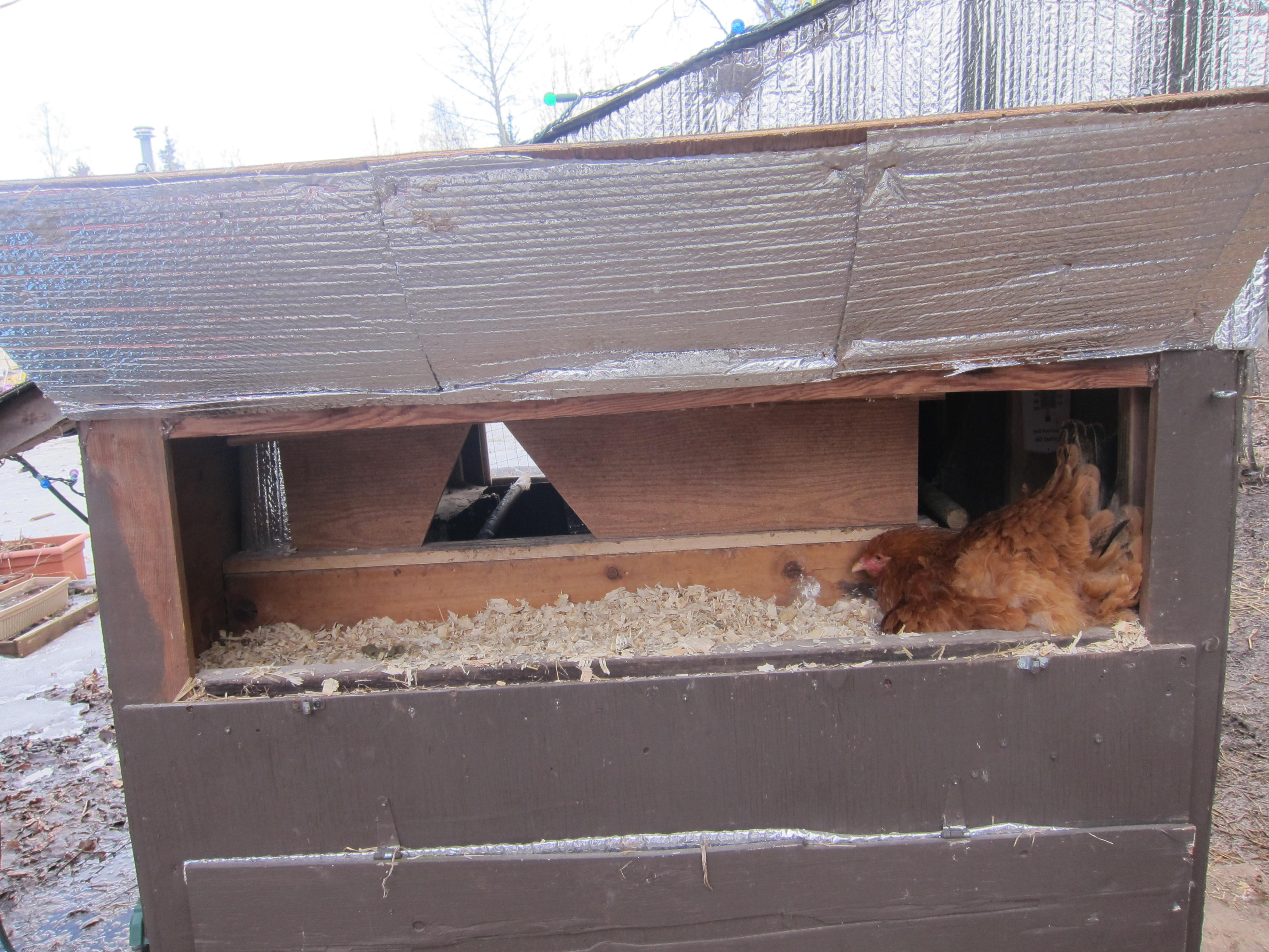 broody hen in nesting box