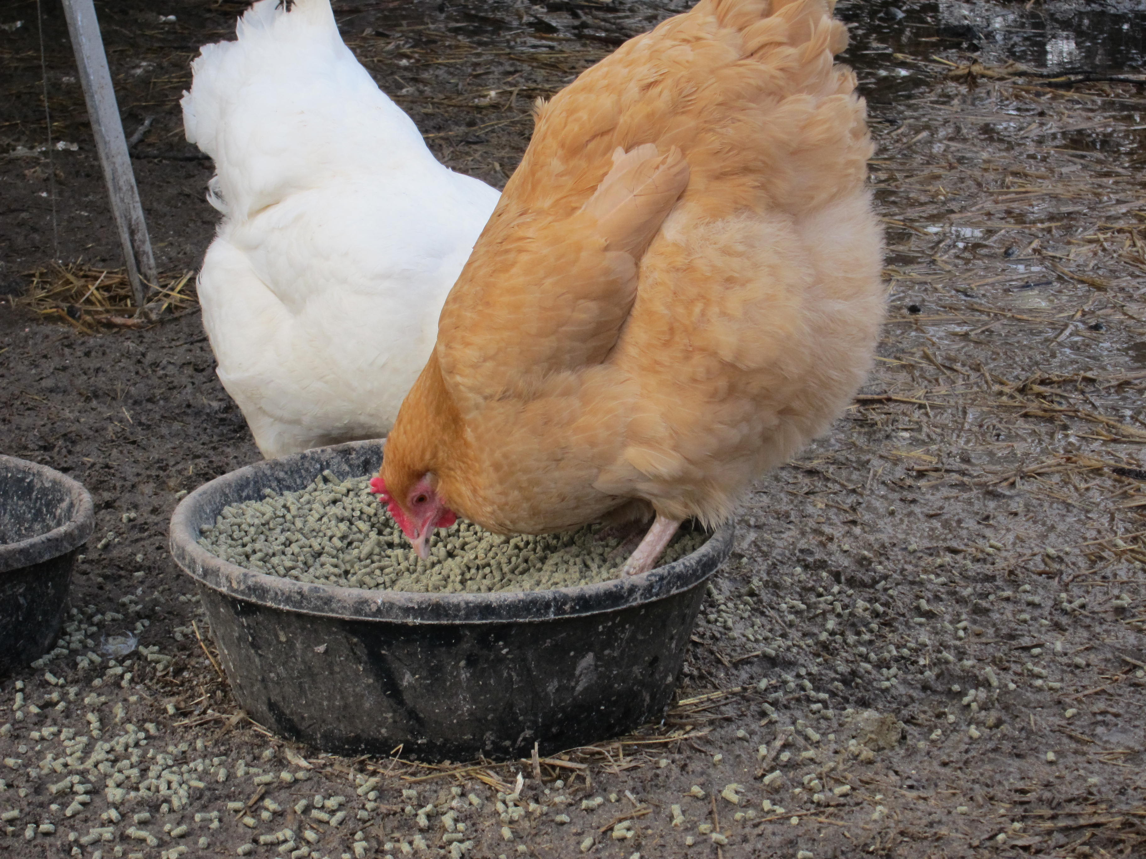 buff orpington hen standing in food bowl