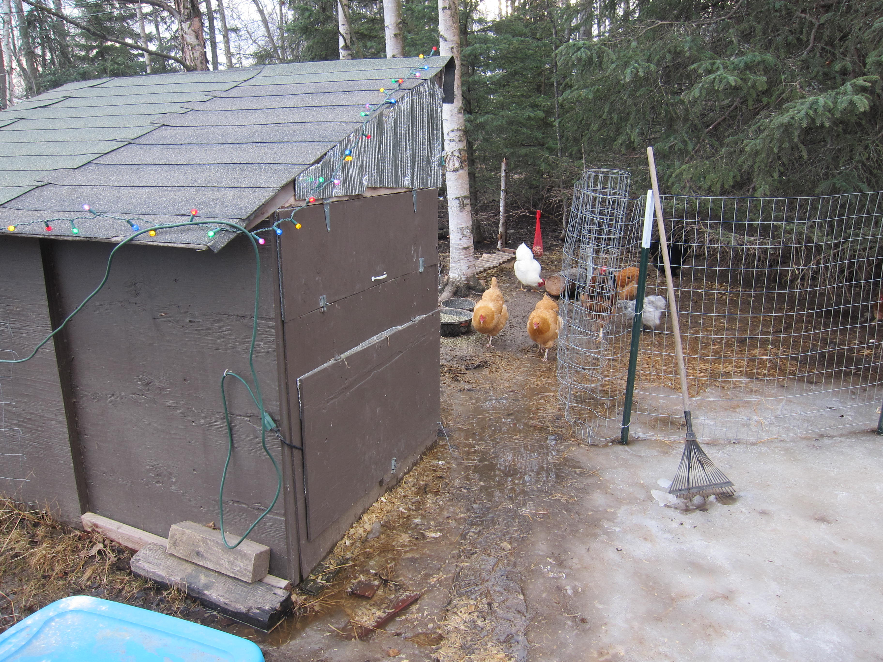 Anchorage chicken coop in March