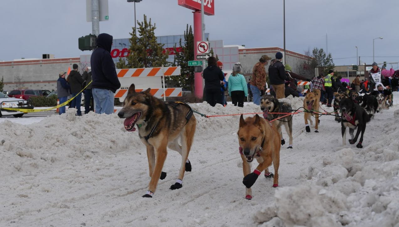 Alaska iditarod dogs running in Anchorage