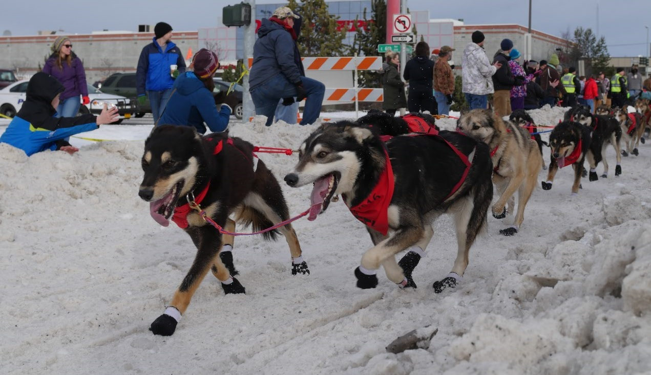 happy Alaska iditarod sled dogs running