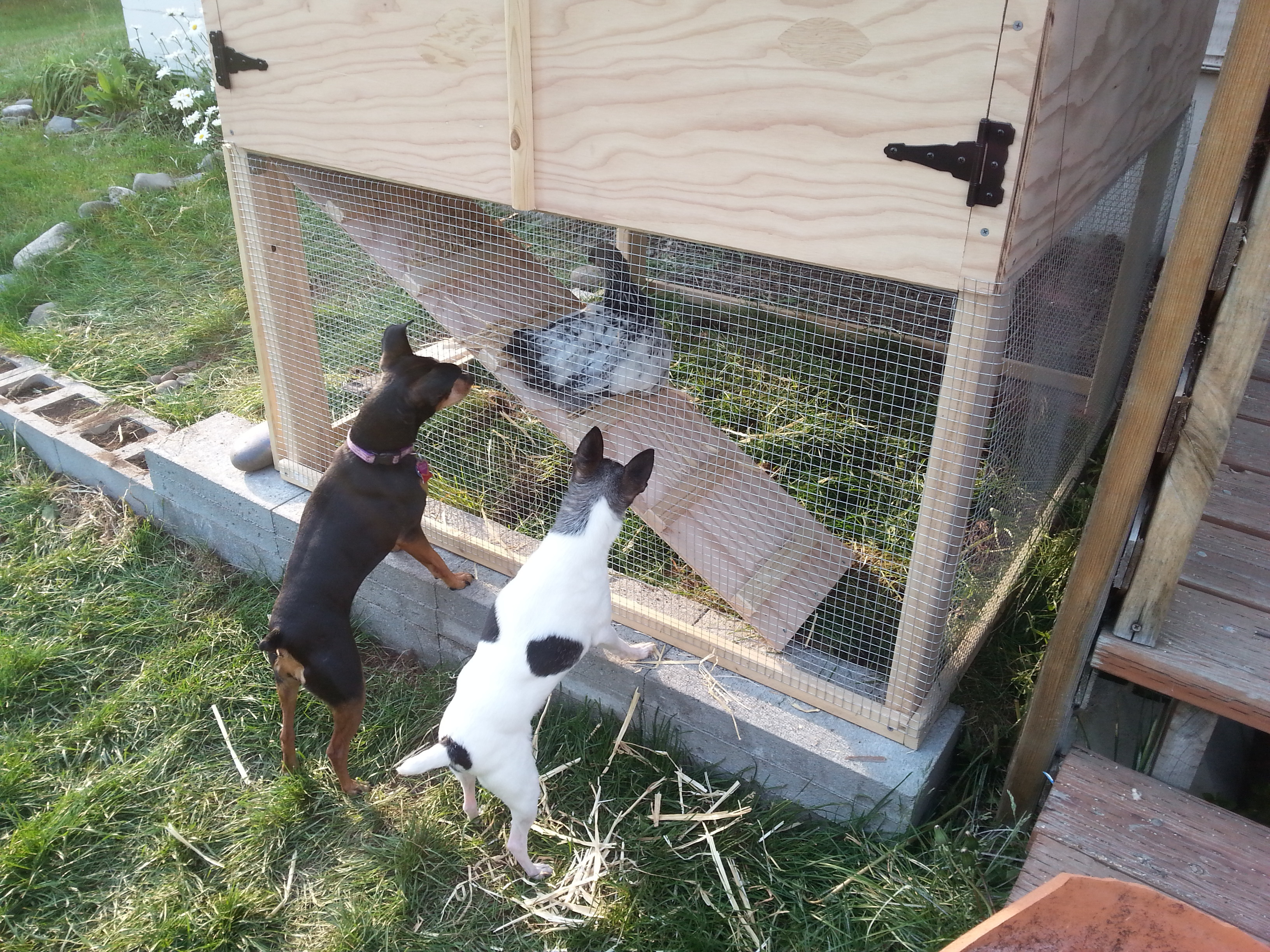 two small dogs looking into chicken coop
