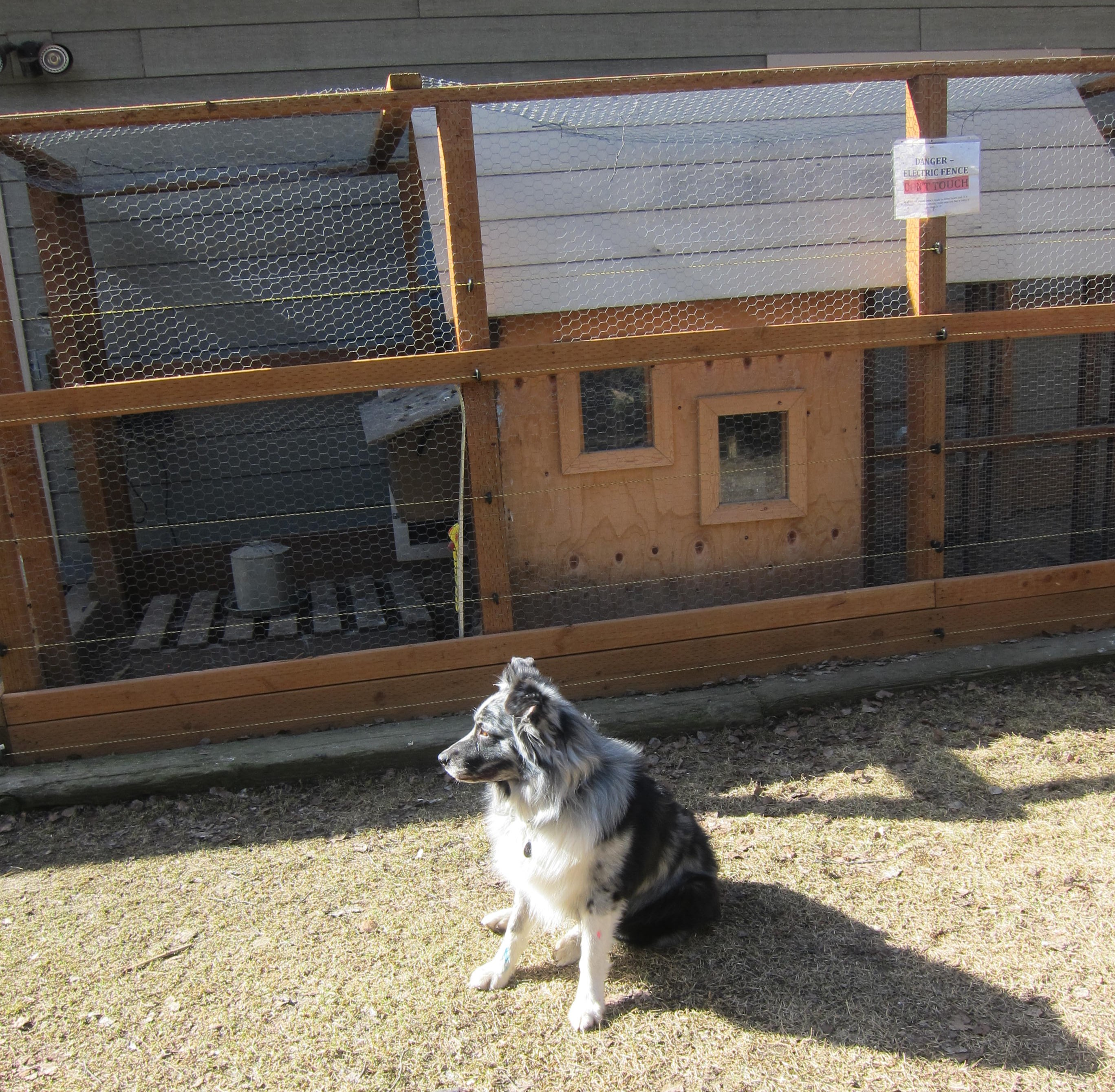 Austrailian Sheppard in front of chicken coop