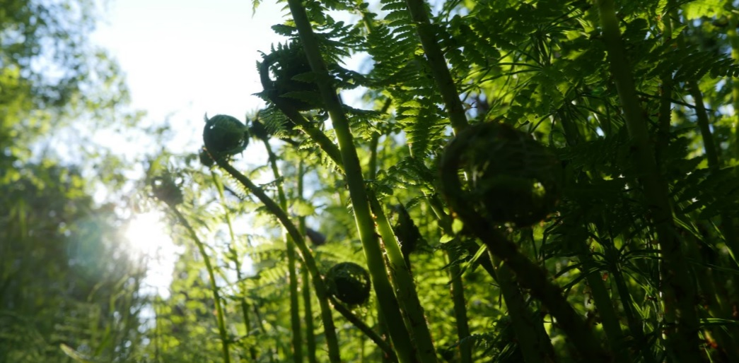 backlit fiddlehead fern heads