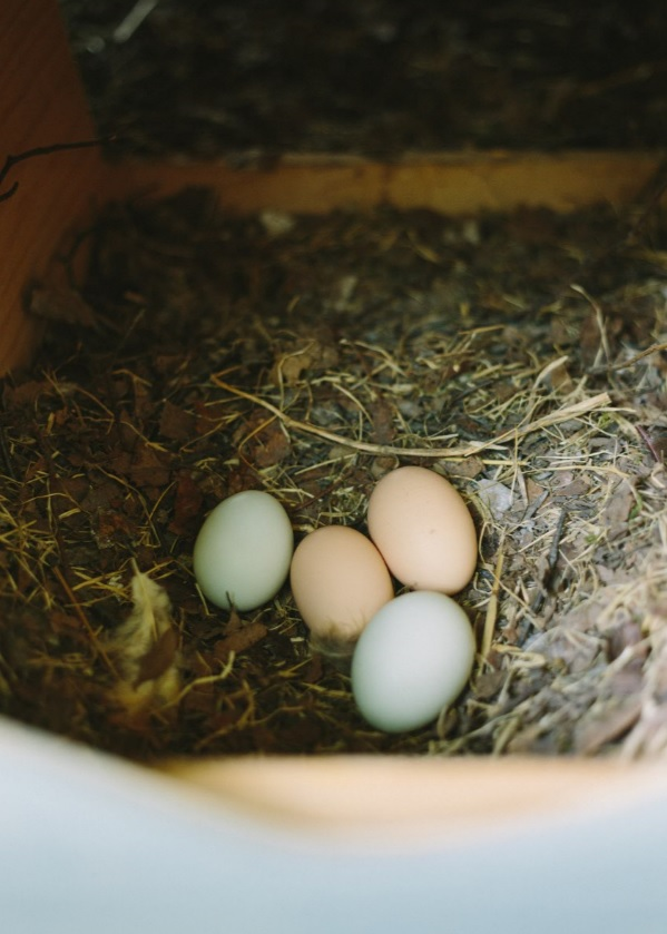 colored chicken eggs in nest box