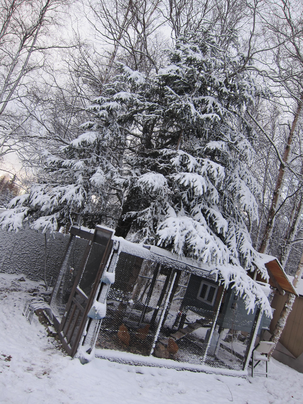 chicken coop under snowy evergreen trees