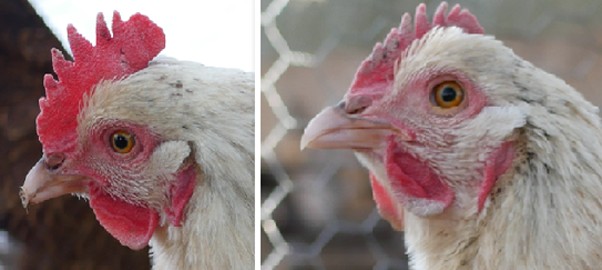 shrinking chicken comb discoloration