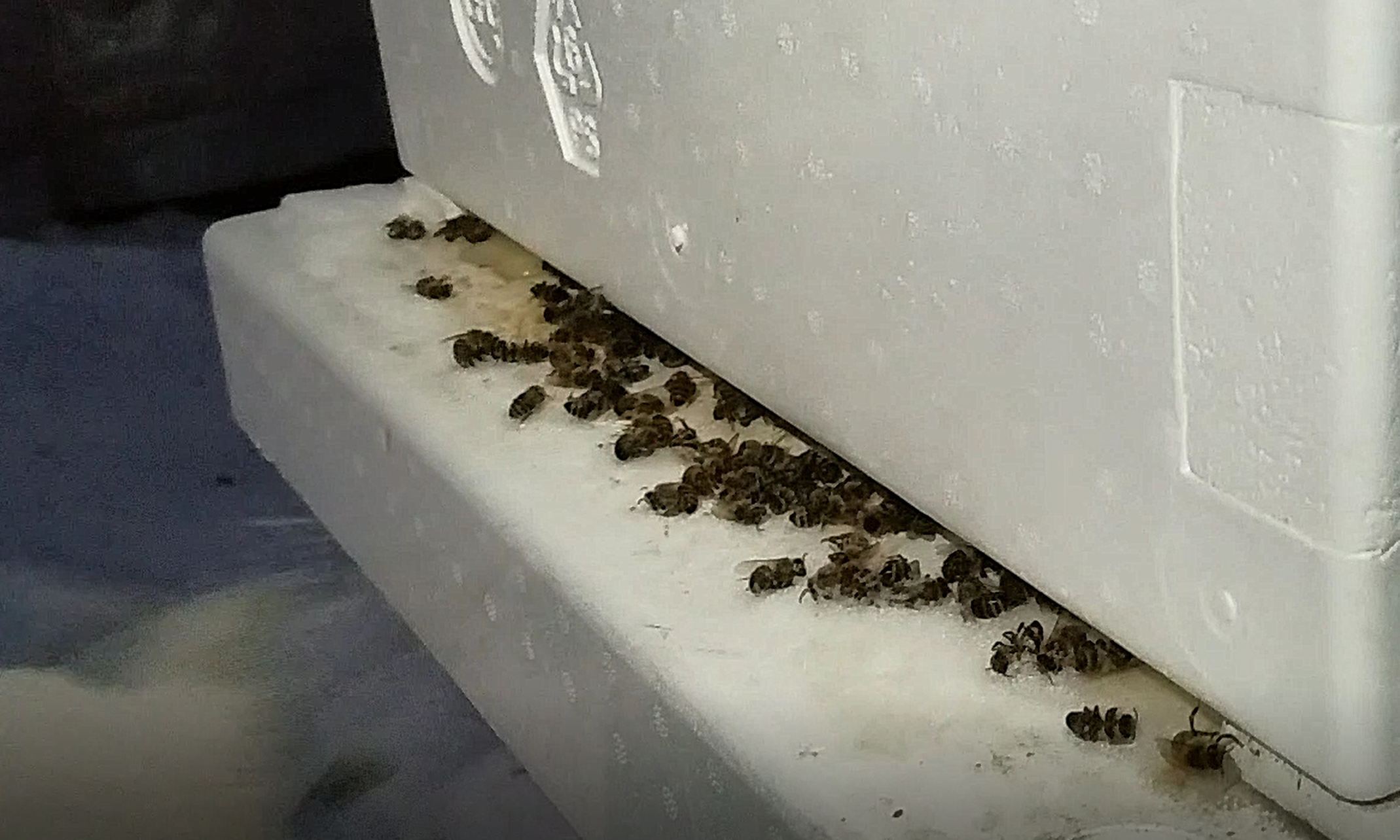 dead bees at winter hive entrance