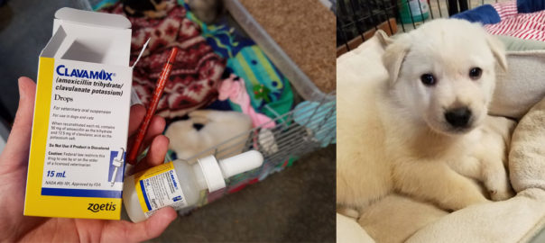 Small blonde puppy with antibiotics bottle