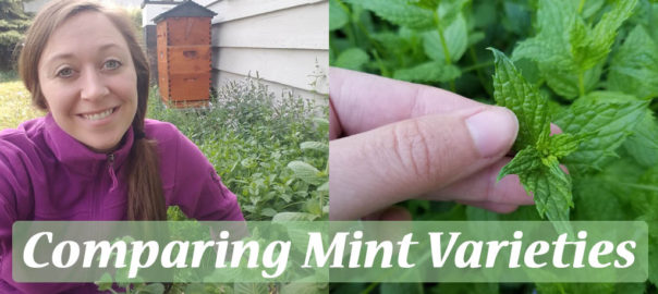 comparing mint plant varieties
